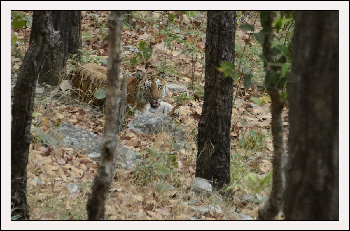 Tracking a Tiger