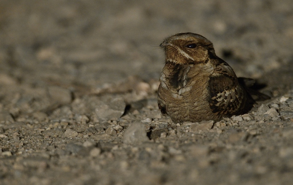 Large Tailed Nightjars bring the night to life in these jungles